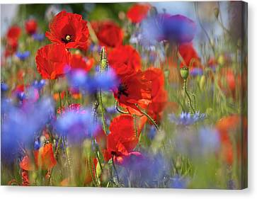 Red Poppies In The Maedow Canvas Print by Heiko Koehrer-Wagner