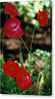 Canvas Print featuring the photograph Red Poppies by Robert Lozen