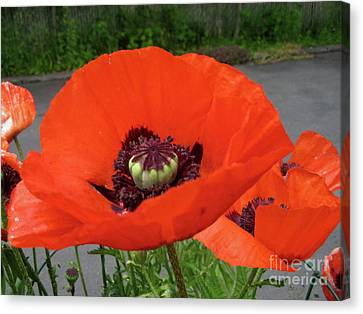 Canvas Print featuring the photograph Red Poppy by Barbara Griffin