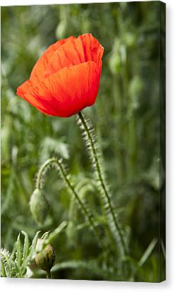 Red Poppy Canvas Print by David Isaacson