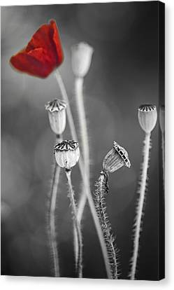 Red Poppy  Canvas Print by Dirk Ercken