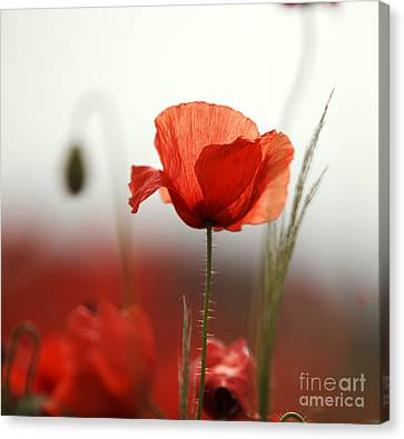 Red Poppy Flowers Canvas Print by Nailia Schwarz