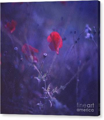 Red Poppy In Blue Medium Format Analog Hasselblad Film Photo Canvas Print by Edward Olive