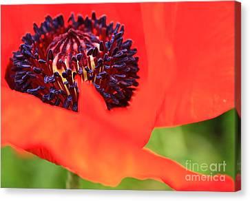 Red Poppy Canvas Print by Linda Bianic