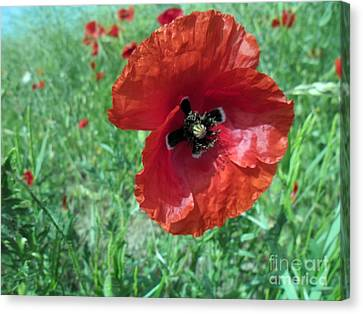 Canvas Print featuring the photograph Red Poppy by Vesna Martinjak