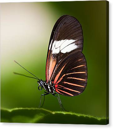 Canvas Print featuring the photograph Red Postman Butterfly by Zoe Ferrie