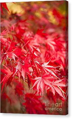 Red Red Red Canvas Print by Anne Gilbert