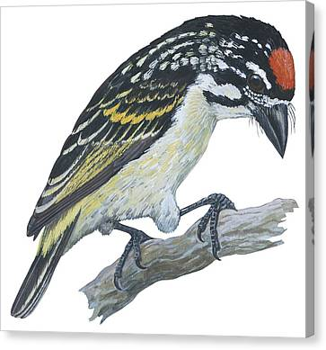 Red Ronted Tinkerbird Canvas Print by Anonymous