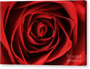 Red Rose 2 Canvas Print