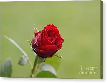 Red Rose Bud 2 Canvas Print by Carol Lynch