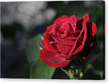 Red Rose Dark Canvas Print