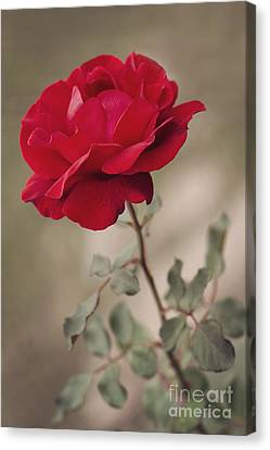 Red Rose Canvas Print by Diana Kraleva