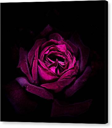 Red Rose Elegance Canvas Print by Vishwanath Bhat