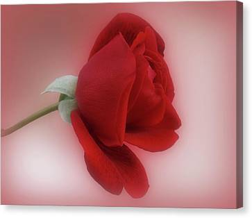 Red Rose For You Canvas Print
