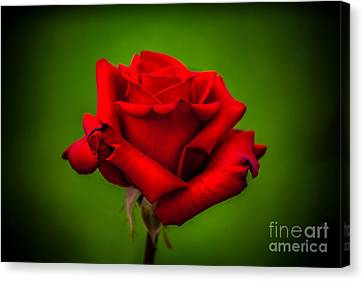 Red Rose Green Background Canvas Print