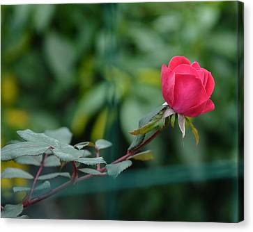 Red Rose I Canvas Print
