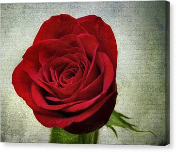 Red Rose V2 Canvas Print by Ian Mitchell