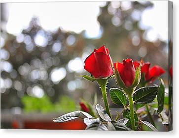 Red Roses Canvas Print by Daniel Precht