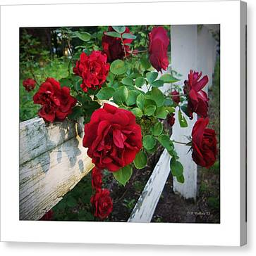 Red Roses - White Fence Canvas Print by Brian Wallace