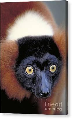 Red Ruffed Lemur, Madagascar Canvas Print