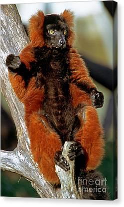 Red-ruffed Lemur Canvas Print