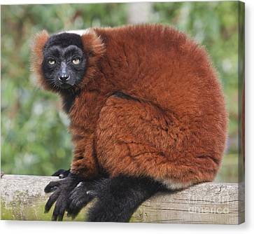 Red Ruffed Lemur Varecia Rubra Canvas Print