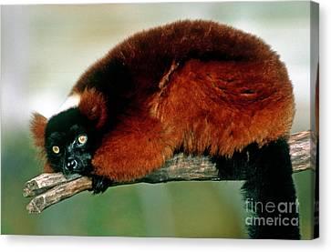 Red Ruffed Lemur Varecia Variegata Rubra Canvas Print