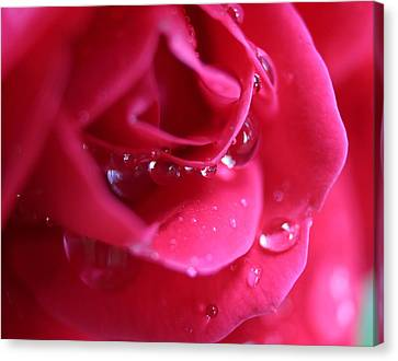 Red Scented Rose Canvas Print by Ester  Rogers