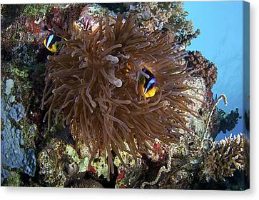 Clown Fish Canvas Print - Red Sea Anemone Fish by Science Photo Library