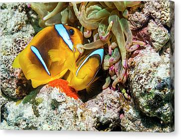 Red Sea Anemonefish Spawning Canvas Print by Georgette Douwma