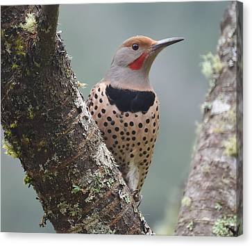 Red Shafted Flicker Viii Canvas Print by Ronda Broatch
