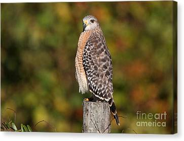 Red-shoulder Hawk Canvas Print by Jennifer Zelik