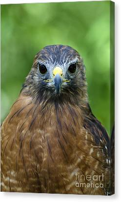Red-shoulder Hawk Canvas Print by Mark Newman