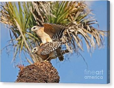 Red-shoulder Hawks Canvas Print by Jennifer Zelik