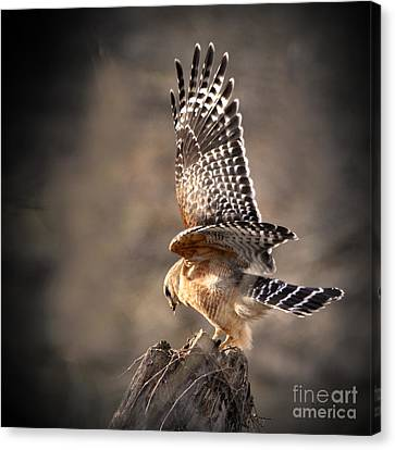 Red-shouldered Hawk Action Canvas Print