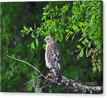 Red-shouldered Hawk Canvas Print by Al Powell Photography USA