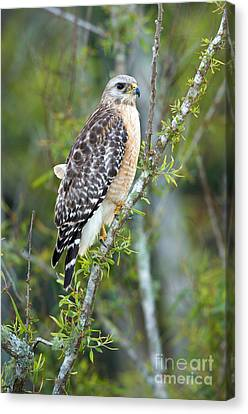 Red-shouldered Hawk Canvas Print by Anthony Mercieca
