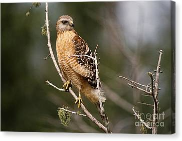 Red-shouldered Hawk Canvas Print by Art Wolfe