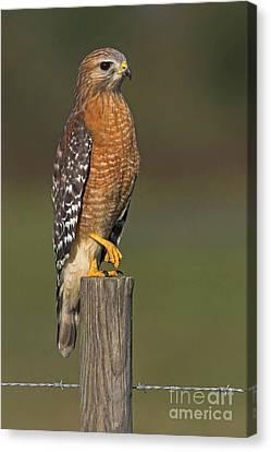 Red-shouldered Hawk Canvas Print by Bildagentur-online