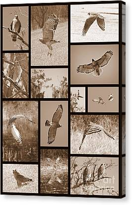 Red-shouldered Hawk Collage Canvas Print by Carol Groenen