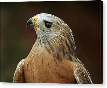 Canvas Print featuring the photograph Red-shouldered Hawk by Doug Herr
