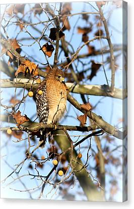 Red-shouldered Hawk - Img_7943 Canvas Print