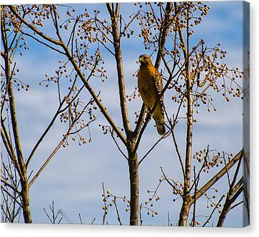 Red Shouldered Hawk In A Cherry Tree Canvas Print by Chris Flees