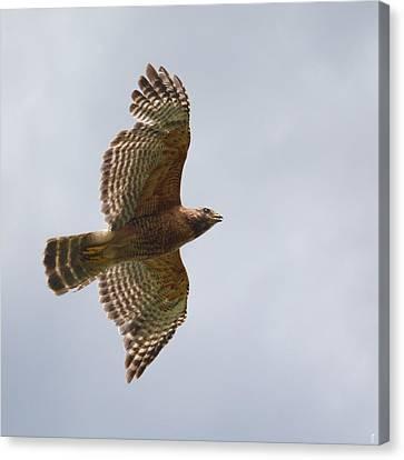 Red Shouldered Hawk In Flight - 06.11.2014 Canvas Print by Jai Johnson