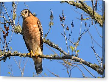 Red Shouldered Hawk Canvas Print by Jodi Terracina