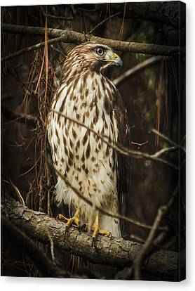 Red Shouldered Hawk Canvas Print by Karen Wiles