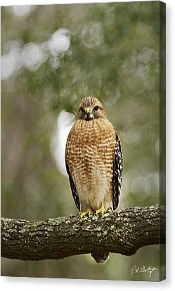 Red-shouldered Hawk Canvas Print by Phill Doherty