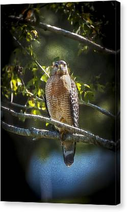 Red Shouldered Hawk Canvas Print by Rich Franco