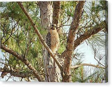 Canvas Print featuring the photograph Red-shouldered Hawk by Zoe Ferrie