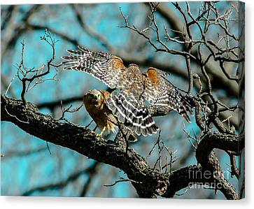 Red Shouldered Rondezvous Canvas Print by Robert Frederick